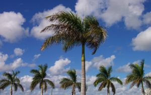 key-west-palms