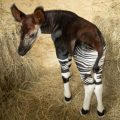 Okapi Calf Disneys Animal Kingdom Lodge