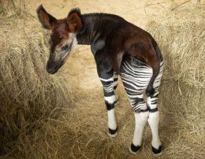 Okapi Calf Disneys Animal Kingdom Lodge