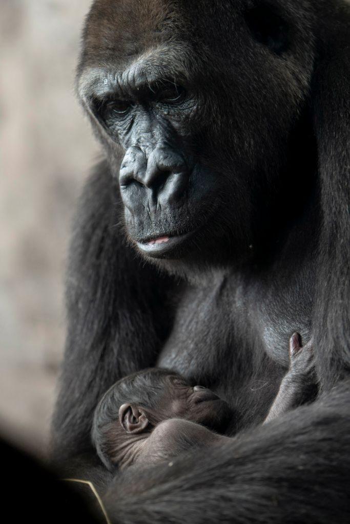 Baby Gorilla Born at Disney's Animal Kingdom