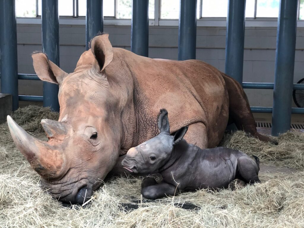 Animal kingdom baby rhino