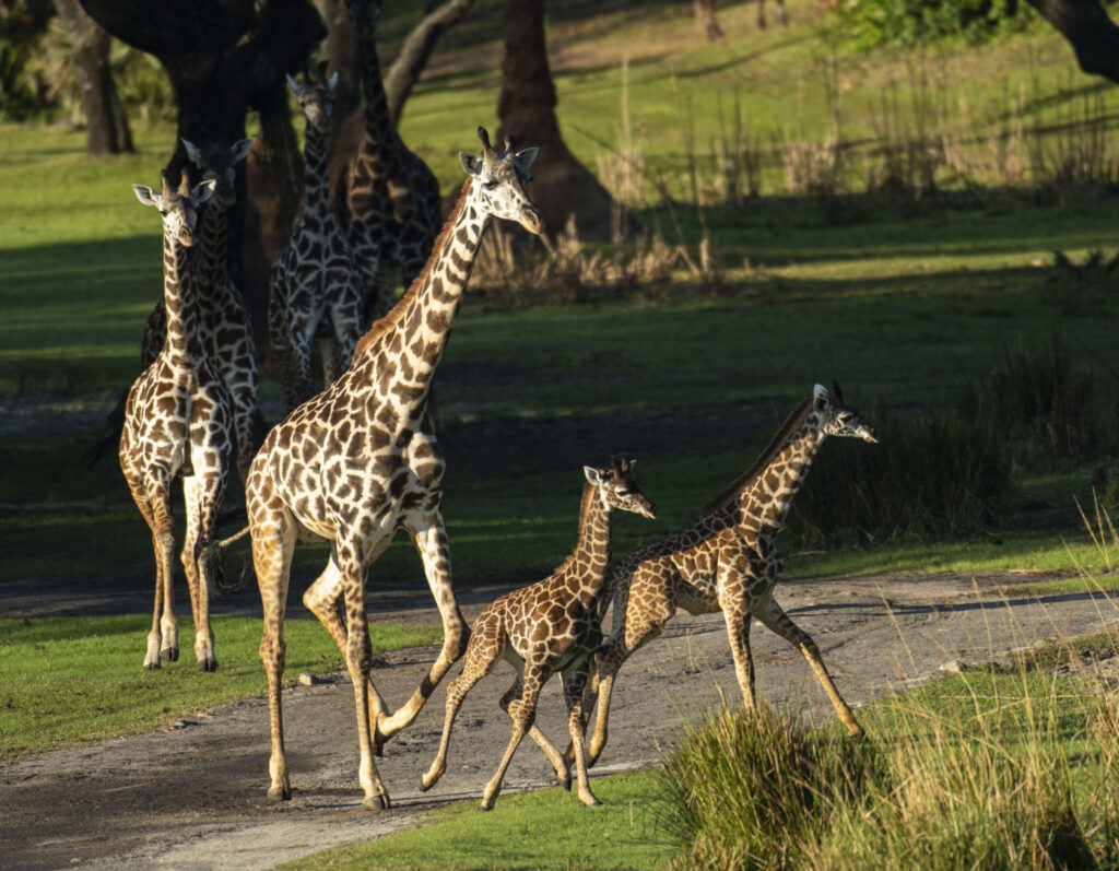 Giraffe Calves Join Herd on Kilimanjaro Safaris Savanna