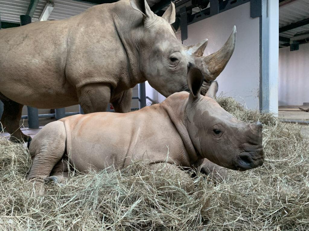 Baby Rhino Named at Disney's Animal Kingdom